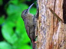 Susurrans för kakaoWoodcreeper-Trepador Gorgianteado- xiphorhynchus arkivbilder