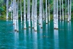 Suszący bagażniki zanurzający Schrenk's Świerkowi drzewa które wzrastają nad water's ukazują się od dna jezioro Zdjęcia Stock