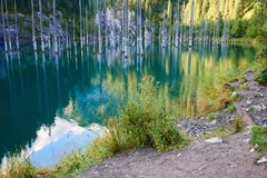 Suszący bagażniki zanurzający Schrenk's Świerkowi drzewa które wzrastają nad water's ukazują się od dna jezioro Obrazy Royalty Free