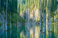 Suszący bagażniki zanurzający Schrenk's Świerkowi drzewa które wzrastają nad water's ukazują się od dna jezioro Zdjęcie Stock