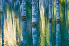 Suszący bagażniki zanurzający Schrenk's Świerkowi drzewa które wzrastają nad water's ukazują się od dna jezioro Obraz Royalty Free