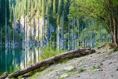 Suszący bagażniki zanurzający Schrenk's Świerkowi drzewa które wzrastają nad water's ukazują się od dna jezioro Fotografia Stock
