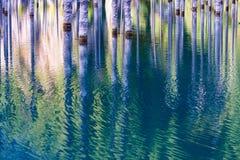 Suszący bagażniki zanurzający Schrenk's Świerkowi drzewa które wzrastają nad water's ukazują się od dna jezioro Obrazy Stock