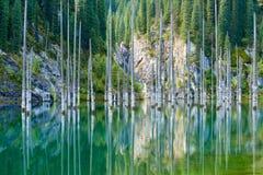 Suszący bagażniki zanurzający Schrenk's Świerkowi drzewa które wzrastają nad water's ukazują się od dna jezioro Zdjęcia Royalty Free