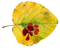 Suszący w górę liści topola z czerwonym bodziszkiem Obraz Stock
