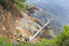 Suszący w górę nieżywego drzewa na kamiennym wybrzeżu Obrazy Royalty Free