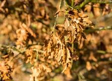 Suszę miął glansowanych jesień liście Zdjęcie Royalty Free