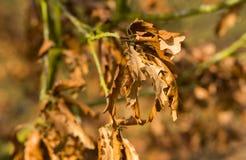Suszę miął glansowanych jesień liście Obraz Royalty Free