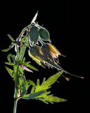 Suszę naciskał kwiatu na czerni Zdjęcia Stock