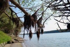 Suszący wierzba korzenie zdjęcie stock