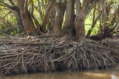 Susza: Drzewni bagażniki z Korzeniowym ujawnieniem Riverbank Zdjęcia Stock