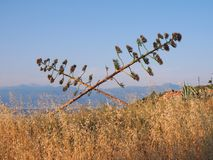 Suszarnicze agawa kaktusa rośliny Zdjęcie Stock