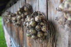 Suszarnicze cebule zdjęcie stock