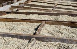Suszarnicze kawowe fasole Obraz Stock