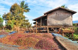 Suszarnicze kawowe jagody Zdjęcia Stock
