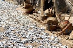 Suszarnicze sardele w słońcu w Goa India obrazy stock