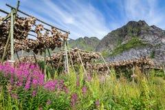Suszarnicze stockfisch lub dorsza Lofoten wyspy Norwegia Obrazy Stock