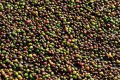 Suszarniczy kawowi cheries w słońcu Fotografia Stock