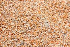 Suszarniczy kukurudz ziarna Zdjęcie Royalty Free