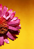 suszone kwiat Obraz Royalty Free