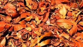 suszone liści, Zdjęcie Royalty Free