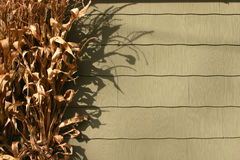 suszone łodygi kukurydzy Zdjęcia Royalty Free
