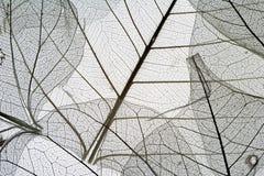 suszonych 6 liści zdjęcia stock