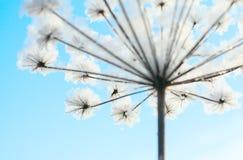 suszyć kwiat zimę Zdjęcie Stock