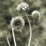 suszyć roślin zdjęcia royalty free