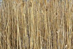 Suszy badyle trzcina Fotografia Royalty Free