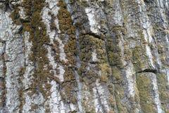 Suszy barkentynę drzewo z mech i liszajem Fotografia Royalty Free