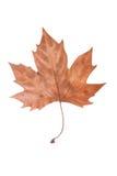 Suchy liść klonowy Obraz Royalty Free