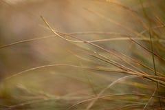 Suszy brown trawy w jesieni pola zbliżeniu Zdjęcia Royalty Free