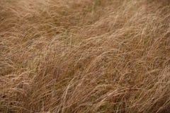Suszy brown trawy w jesieni pola zbliżeniu Zdjęcie Royalty Free