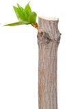 Suszy gałąź z liść pączkami Obrazy Royalty Free
