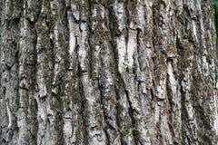 Suszy greyish brązu barkentynę stary drzewo Fotografia Royalty Free