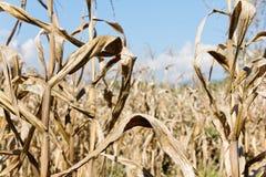 Suszy kukurydzany pole Obrazy Royalty Free