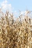 Suszy kukurydzany pole Obraz Stock