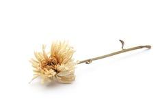 Suszy kwiatu Zdjęcie Royalty Free