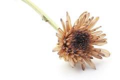 Suszy kwiatu Obrazy Royalty Free