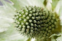Suszy kwiatu zielona karda makro- Zdjęcia Stock