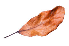 Suszy liście na białym tle Zdjęcia Royalty Free