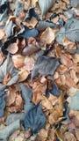 Suszy liście Zdjęcie Stock