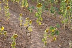 Suszy pole w Hiszpańskiej wiosce, sucha trawa, słoneczniki obrazy royalty free