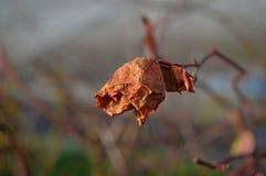 Suszy różanego w zimie Obraz Stock