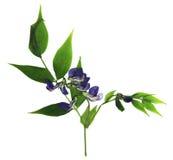 Suszy słodkiego grochu kwiatu set błękitni kwiaty i świeży zielony liścia cl Obraz Stock