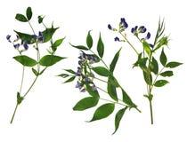 Suszy słodkiego grochu kwiatu set błękitni kwiaty i świeży zielony liścia cl Obrazy Stock
