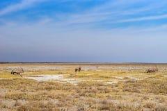 Suszy sawanna Etosha park narodowy Obraz Stock