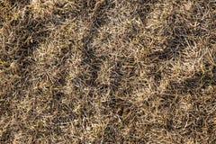 Suszy, w zesz?ym roku ` s trawa Stara s?omiana t?o tekstura Przez starej przegni?ej trawy ?ama m?odej trawy fotografia royalty free