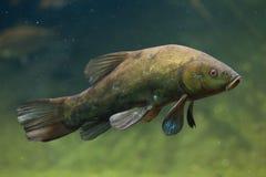 Sutare (Tincatinca), också som är bekant som doktorsfisken Arkivfoton
